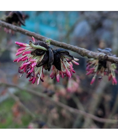 Parrotia persica (7.5lt)