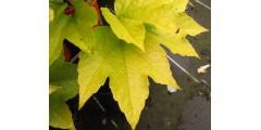 Parthenocissus tricuspidata Fenway Park (2lt)