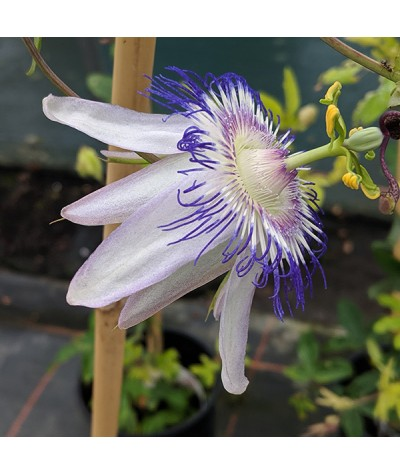 Passiflora Star of Surbiton (2lt)