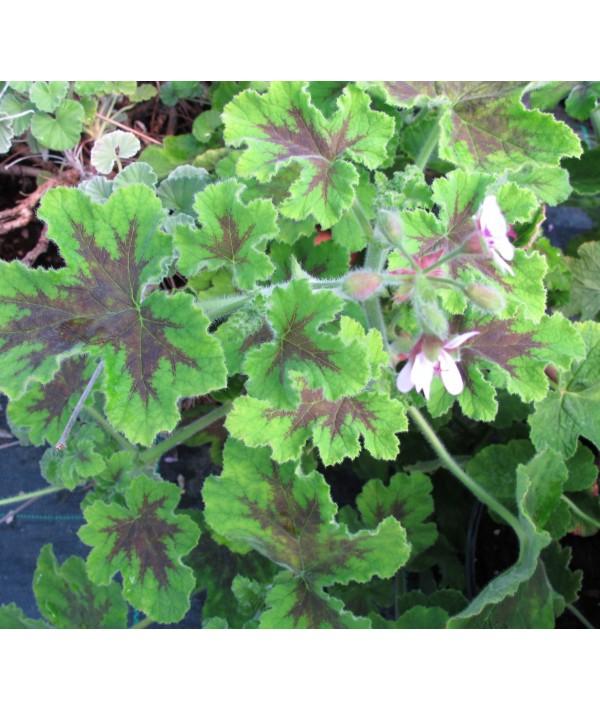 Pelargonium Chocolate Peppermint (1lt)