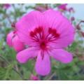 Pelargonium Limoneum (1lt)