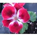 Pelargonium Suffolk Garnet (1lt)