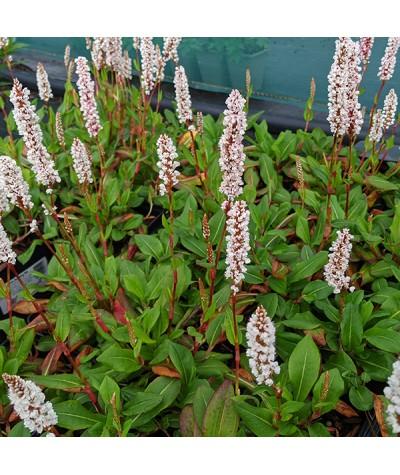 Persicaria affinis Darjeeling Red (1.5lt)