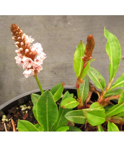 Persicaria affinis Donald Lowndes (3lt)