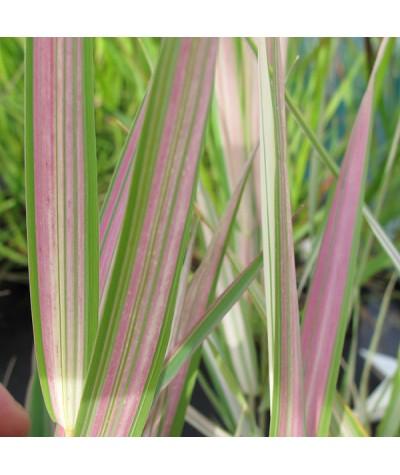 Phalaris arundinacea picta Feesey (3lt)