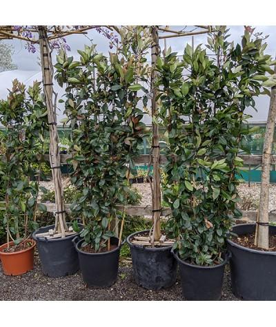 Plant in 9cm Pot Azalea japonica Vuyks Orange