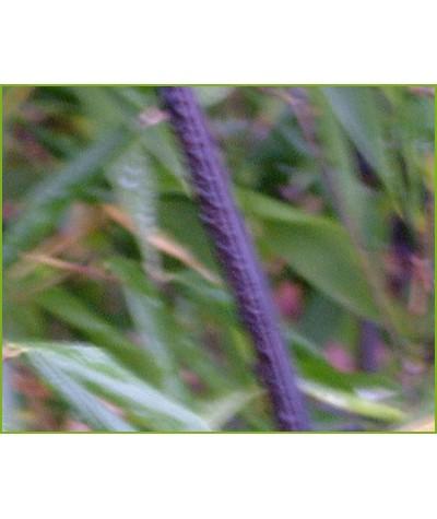 Phyllostachys nigra (35lt)