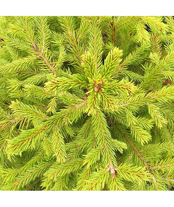 Picea abies (17.5lt)