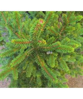 Picea abies Wills Zwerg (5lt)