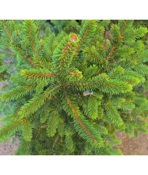 Picea abies Wills Zwerg (35lt)
