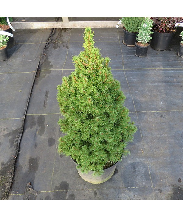 Picea glauca albertiana Conica (7lt)