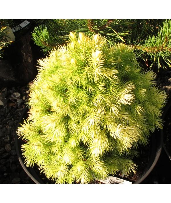Picea glauca Daisy's White (3lt)