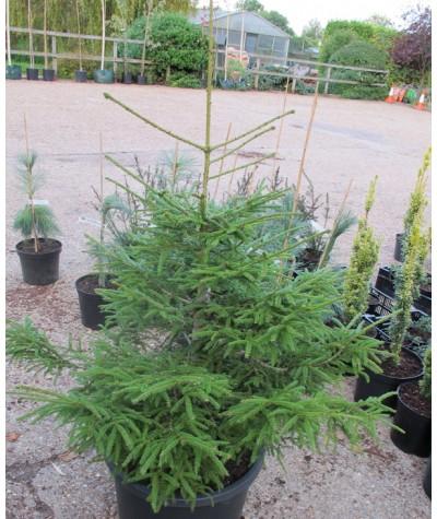 Picea orientalis (20lt)