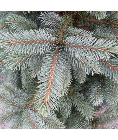 Picea pungens Super Blue (15lt)