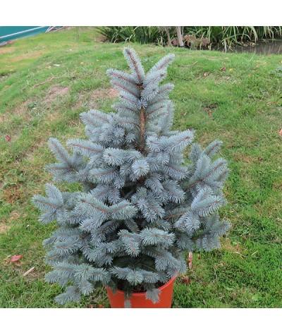 Picea pungens Super Blue (12lt)