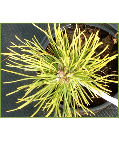 Pinus mugo Ophir (20lt)