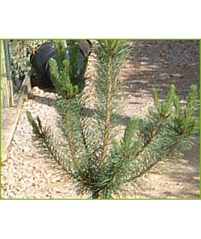 Pinus sylvestris (6lt)