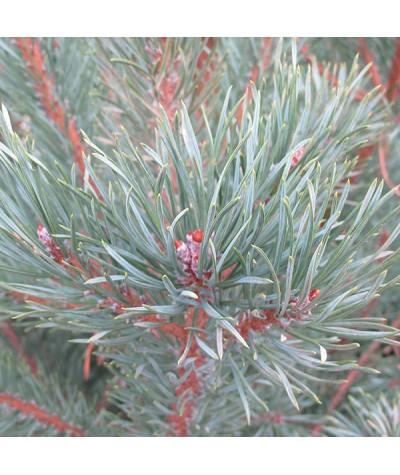 Pinus sylvestris (35lt)
