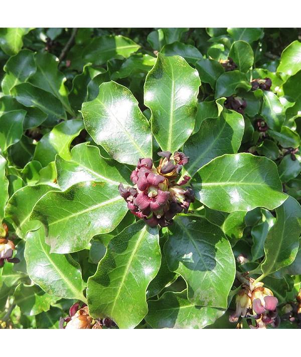 Pittosporum tenuifolium (3lt)