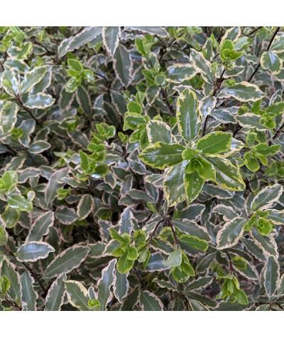 Pittosporum tenuifolium Elizabeth (10lt)