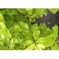 Pittosporum tenuifolium Trimm's Hedger (3lt)