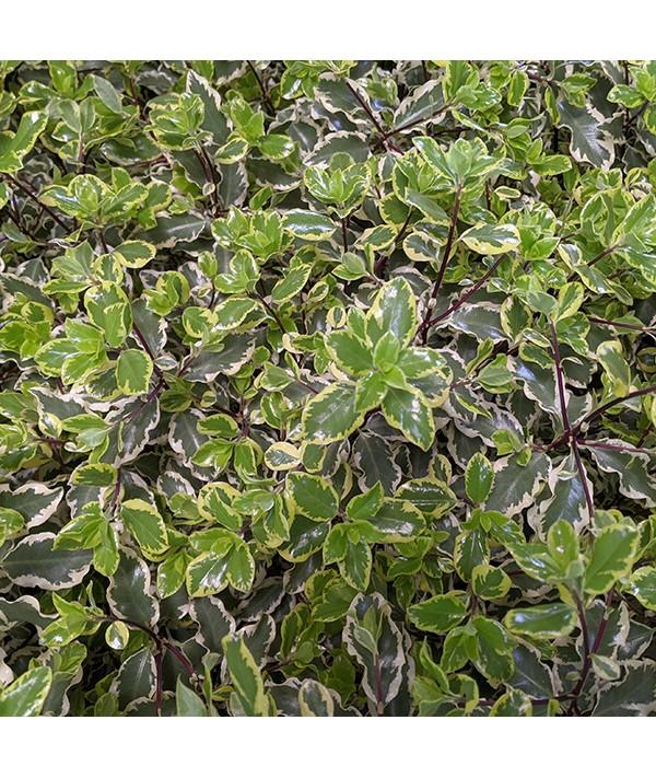 Pittosporum tenuifolium Variegatum (2lt)