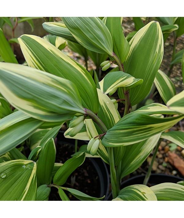Polygonatum odoratum var. pluriflorum Variegatum (2lt)