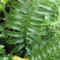 Polystichum munitum (2lt)