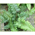Polystichum polyblepharum (1.5lt)
