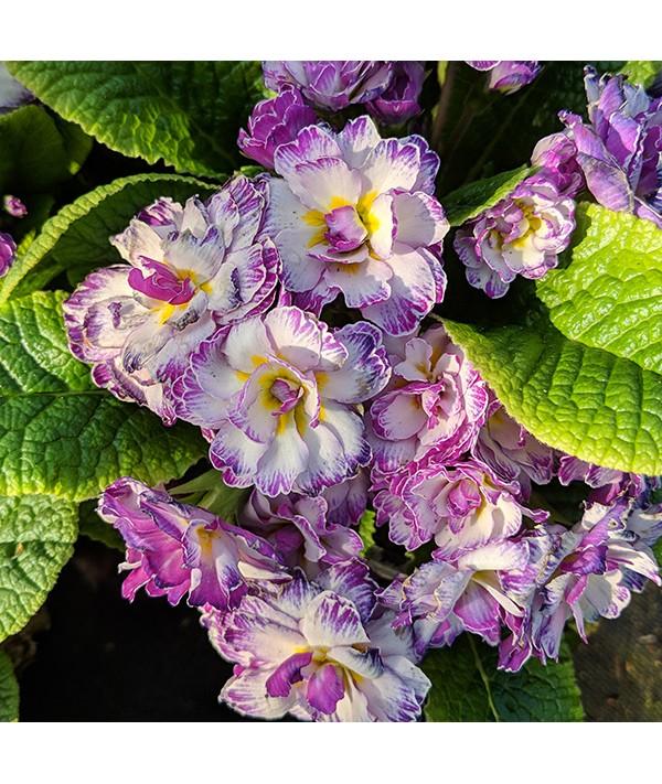 Primula Belarina Lively Lilac (1lt)