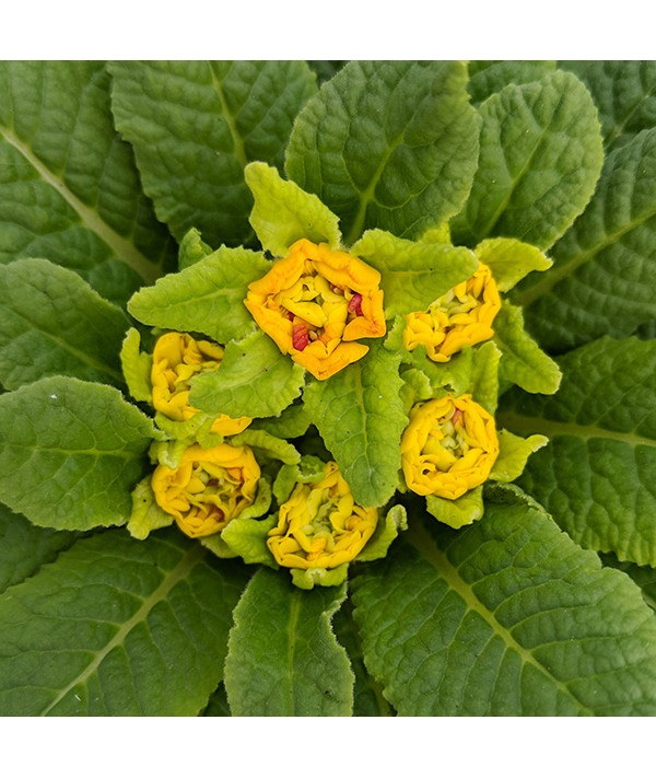 Primula Bellarina Rosette Nectarine (1lt)