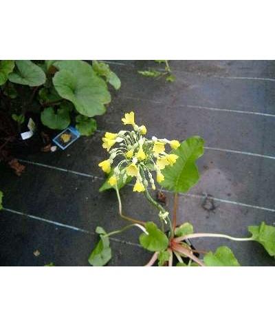 Primula florindae (1.5lt)