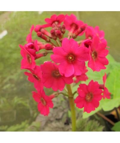 Primula japonicum Miller's Crimson (1lt)