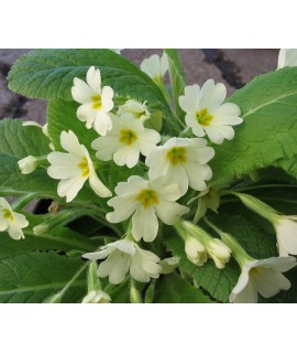 Primula vulgaris (1lt)