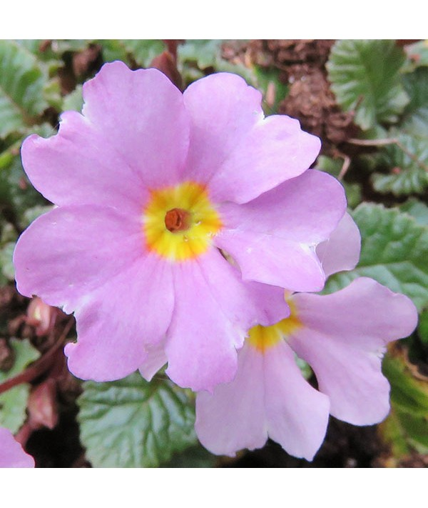 Primula vulgaris Iris Mainwaring (1lt)