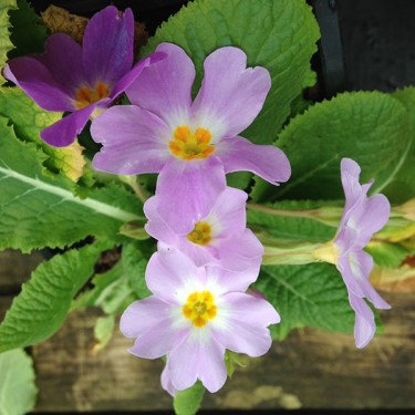 Stories from Langthorns - Primula vulgaris sibthorpii