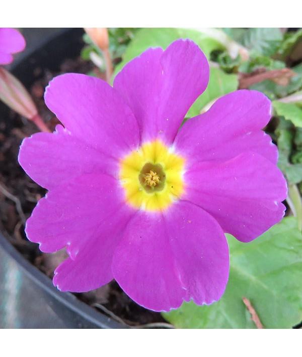 Primula vulgaris Theodora (1lt)