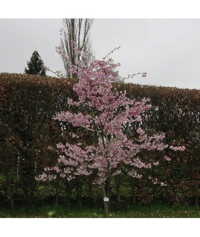 Prunus Accolade (17.5lt)