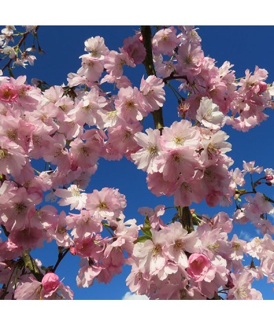 Prunus Accolade (17.5lt)