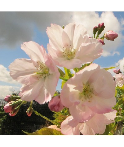 Prunus Amanogawa (12lt)