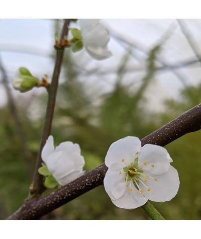 Prunus angustifolia Aprisali - St. Julien 'A' (Bush)(Aprium) (12lt)