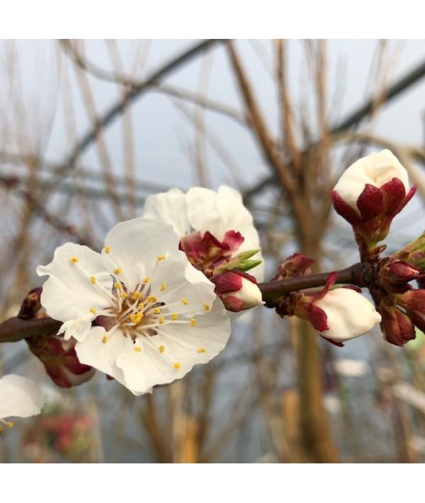 Prunus armeniaca Tomcot - St. Julien 'A' (Bush) (7lt)