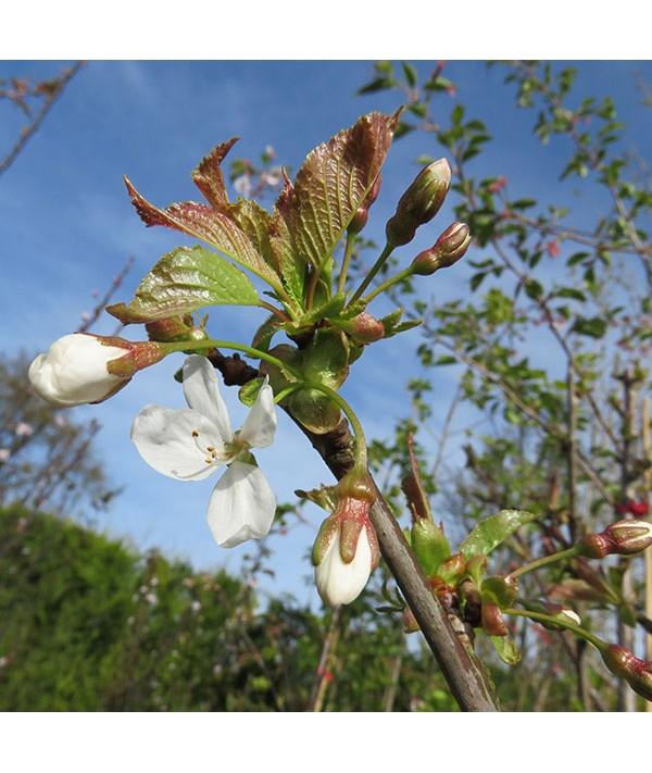 Prunus avium (bare root)