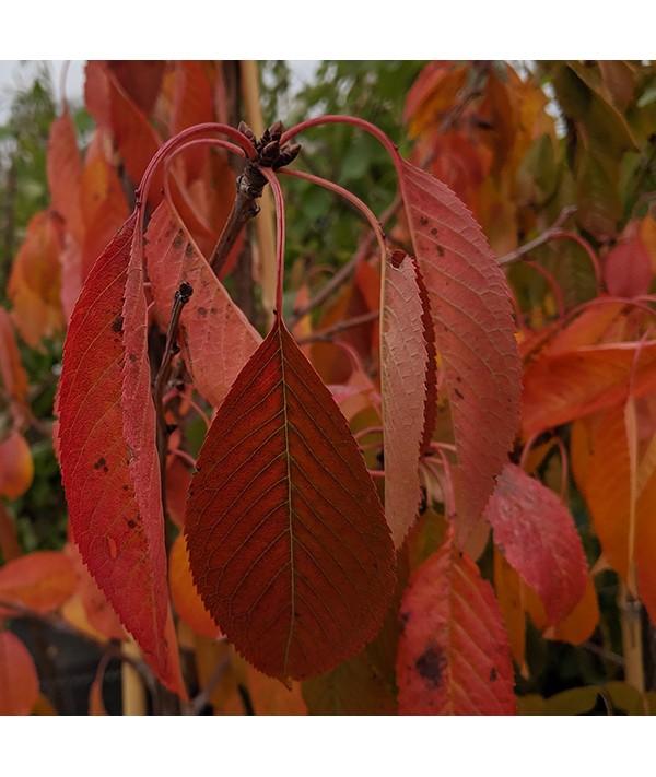 Prunus avium Merchant - (Gisela 6 ) (13.5lt)