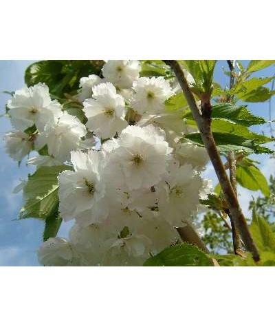 Prunus avium Plena (13.5lt)