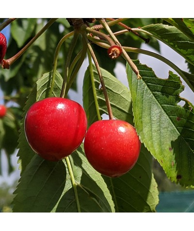 Prunus avium Stella - Colt (Half Standard) (12lt)