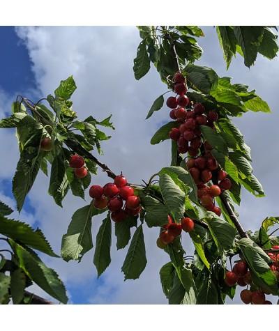 Prunus avium Stella - Colt (Fan) (12lt)
