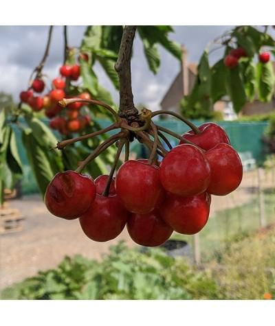 Prunus avium Sunburst - Colt (Bush)(12lt)