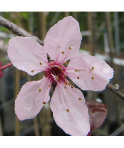 Prunus cerasifera Nigra (10lt)