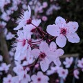 Prunus cerasifera Nigra (17.5lt)